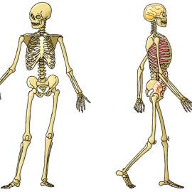 Skeleton – skelet