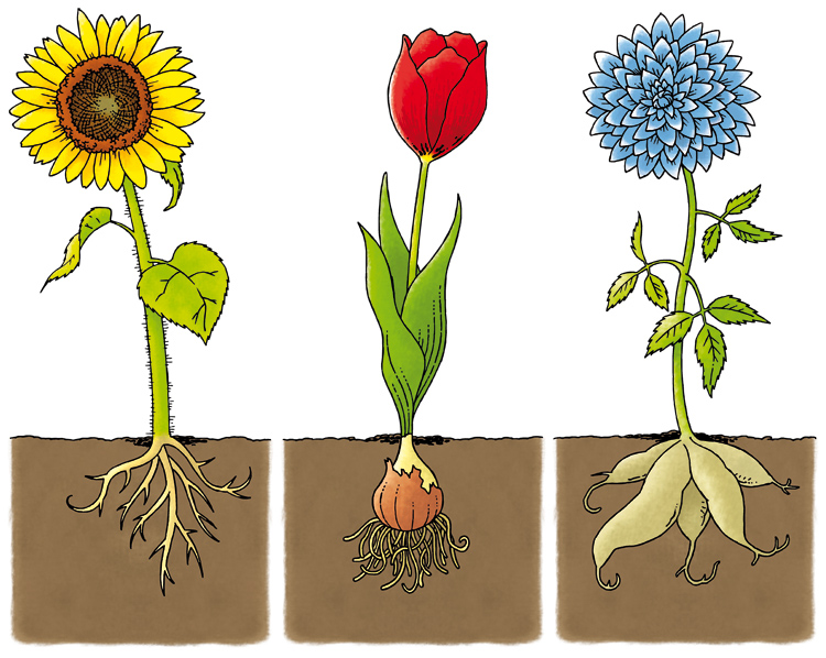 Sunflower With Roots Clipart on Plant Life Cycle Drawings