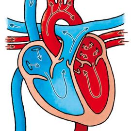 Heart & Lungs – Hart & longen