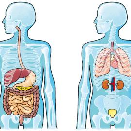 Human body – Menselijk lichaam
