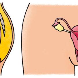 Reproductive organs – geslachtsorganen