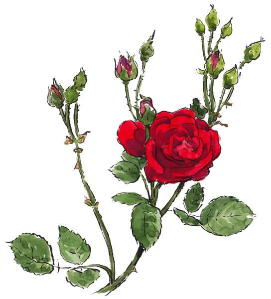 Roses – rozen
